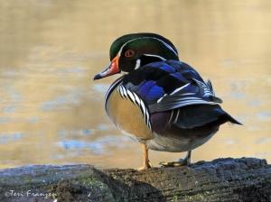 Drake Wood Duck (Aix sponsa) in full breeding plumage