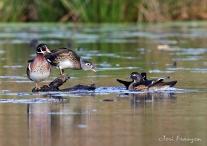 Female Wood Duck protecting her turf