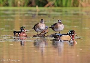 Parading Drake Wood Ducks