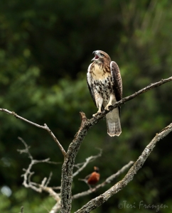 Fledgling and