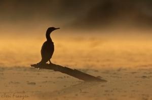 Cormorant in the Mist